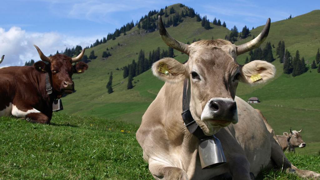 نژاد سوئیسی قهوهای: